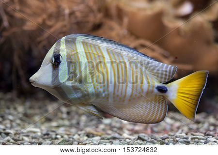 Sailfin tang (Zebrasoma veliferum). Wildlife animal.