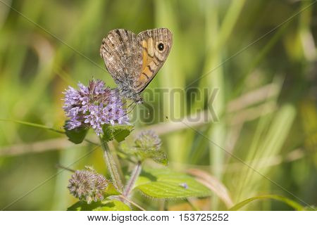 Wall Brown (Lasiommata megera) butterfly extracting nectar from Water Mint (Mentha aquatica)