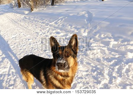 German Shepherd Dog On Snow In Winter Day