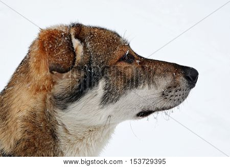 The head of a young dog in a profile during snowfall against the background of blur of the snow field. Snowflakes thaw on a warm muzzle and hang on moustaches and eyebrows.