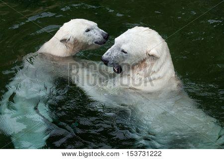 Polar bears (Ursus maritimus) swimming. Wildlife animal.