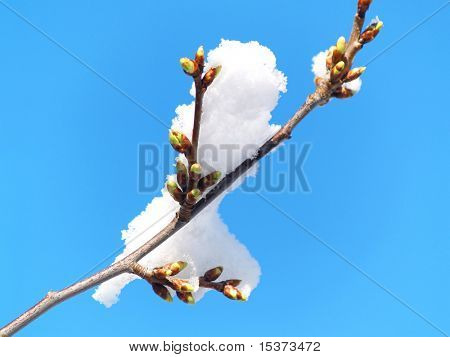 Spring sky and burgeon in snow