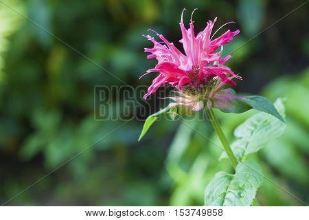 The Monarda (Monarda didyma) flower closeup on green background