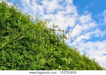 Edge of green hedge with cloudy sky above