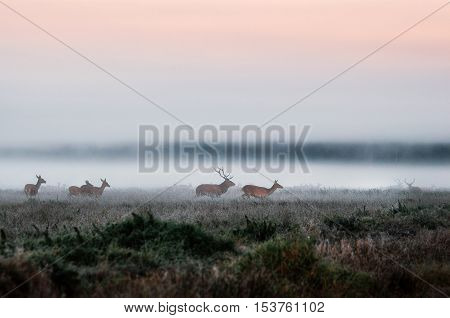 Red deer stag lures female deer. Herd of red deer run on the misty field in the morning during the rut in Belarus