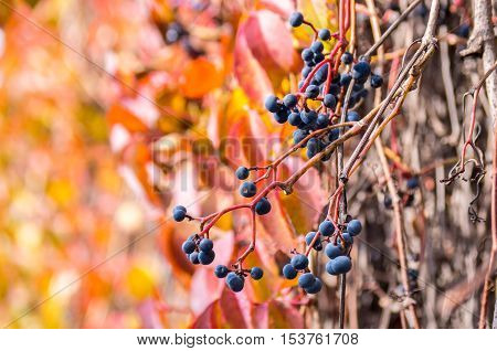 Bright Autumn Wild Grapes With Colorful Background.soft Focus.