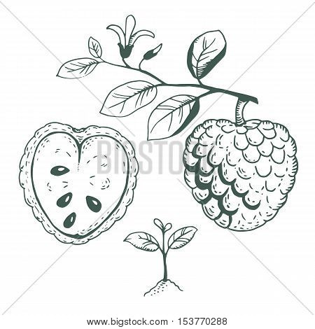 Vector Illustration Set Of Cherimoya Fruit With Seedling, Ripe Fruit And Branch With Leaves And Flow