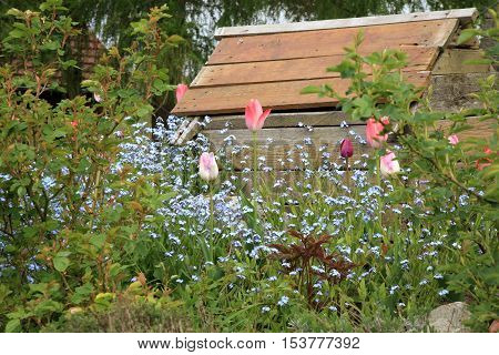 Blue Myosotis called forget-me-not and tulips blooming in garden in Poland. Garden with old doghouse.