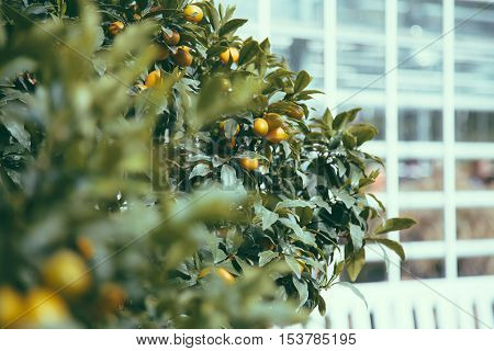 Branches and fruits of decorative tangerine