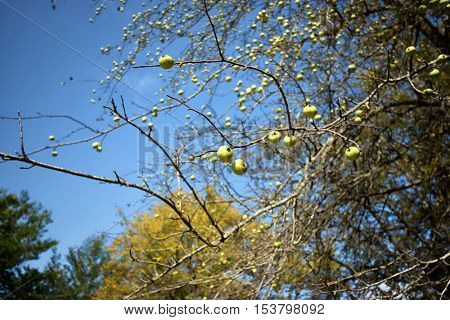crabapple or wild apple is progenitor of cultivated apples, Nebrodi Park - Sicily