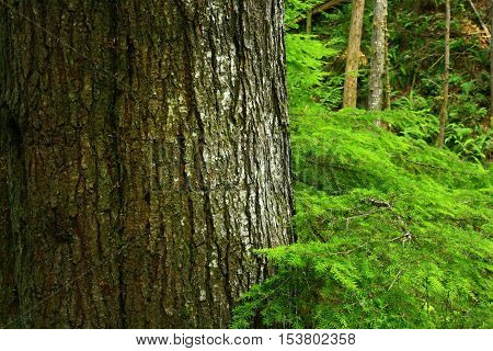 a picture of an exterior Pacific Northwest forest with a  old growth Hemlock tree
