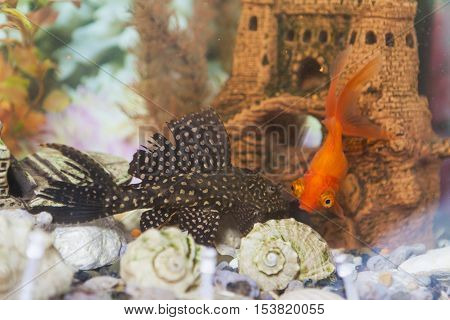 Two Types of Fish Corydoras Paleatus known as Sheatfish and Ordinary Carassius Auratus Individual Known as Golden fish In Aquarium. Horizontal Image