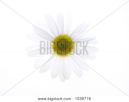 White Marguerite
