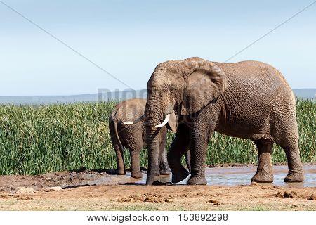 Bush Elephant Slurping Up Some Water