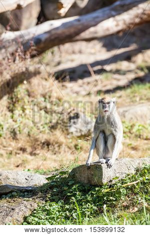 sitting Monkey in the park in africa