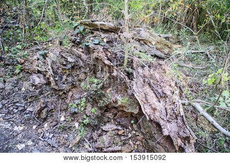 Old fallen tree that is broken down and rotting in nature.