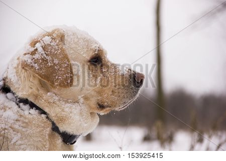 Pale yellow Labrador retriever sitting in the snow in the winter forest