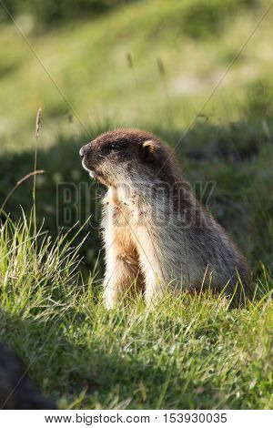 Black-capped marmot sitting in the grass, at Kamchatka national park