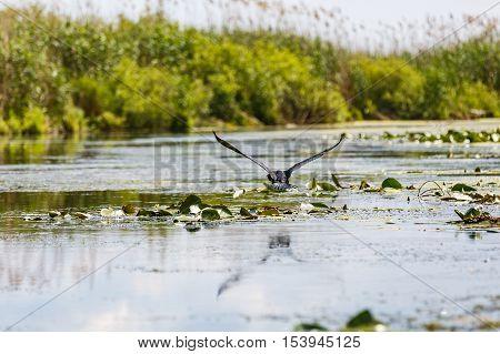 Flying great cormorant above water in Danube Delta