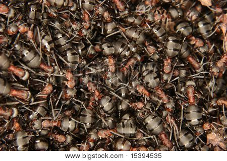 Southern Wood Ants (Formica rufa)