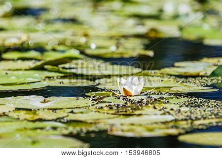 White water lilies in the Romanian Danube Delta
