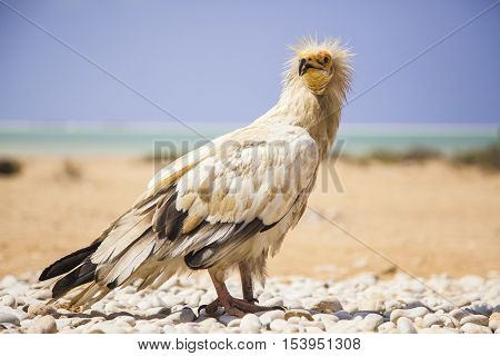 Egyptian vulture neophron percnopterus threatened in wild but abundant on and island of Socotra Yemen