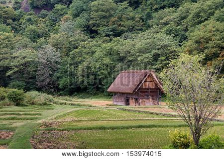 Shirakawago Japan - September 23 2016: Brown barn with the particular joined hands roof stands alone in rice paddy against green forest.