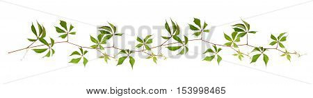 Parthenocissus twig with green leaves in a line arrangement isolated on white