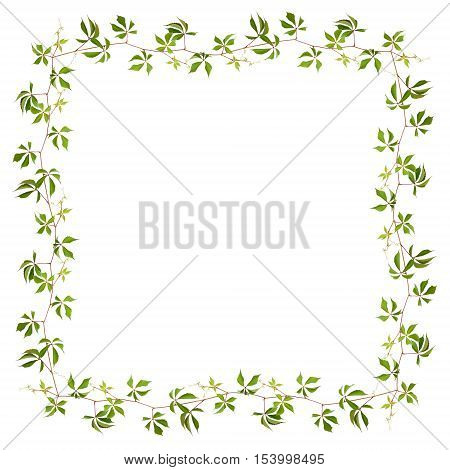 Frame made of parthenocissus twig with green leaves isolated on white