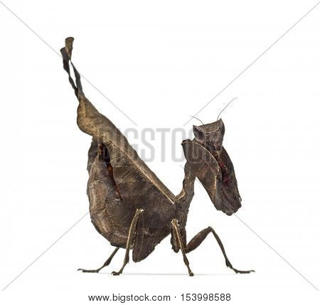 dead leaf mantises - Acanthops Sp - isolated on white