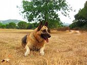 pic of shepherdess  - German sheperd portrait - JPG