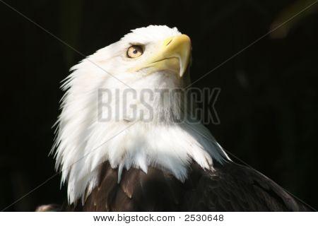 Proud Eagle - American Pride