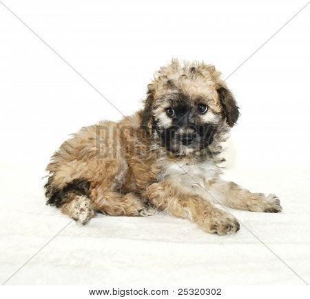 Malti-poo Puppy