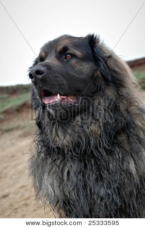 Portrait of leonberger on the river