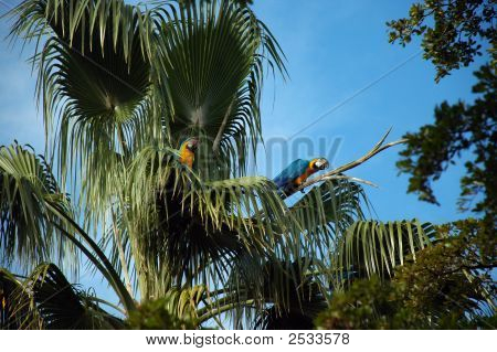 Closeup Of Two Wild Parrots Perched On Palm Tree