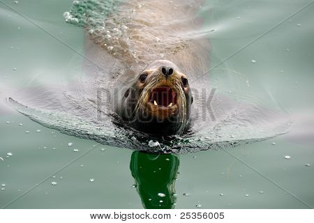 Angry Barking Sea Lion