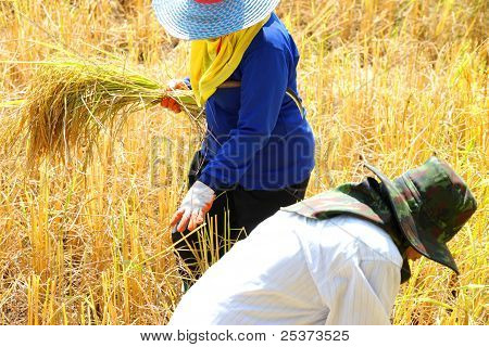 Farmers At Work In Harvest Time
