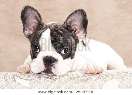 french bulldog puppy , 3 months