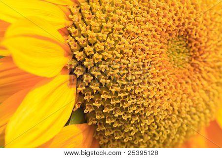 Sol Flor Close-Up