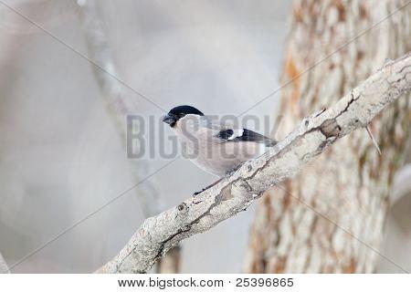 Bullfinch, Female (pyrrhula Pyrrhula)