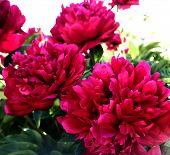 The Colorful Photo Shows Blooming Flower Peony With Leaves, Unusual Aroma Bouquet Flora. Flower Peon poster