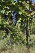 Close Up Of Ripe Red Grapes Ready For Autumn Harvest Vineyard With Grape-bearing Vines. Sangiovese , poster