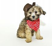 foto of baby cowboy  - sweet little puppy dressed up in a cowboy outfit on a white background - JPG