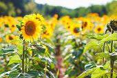 Field Of Blooming Sunflowers On A Background Sunset, Sunflower Field Landscape, Field Of Sunflowers  poster