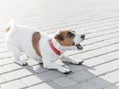 A Small Dog Jack Russell Terrier In Red Collar Running, Jumping, Playing And Barking On Gray Sidewal poster