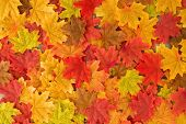 Beautiful Autumn Maple Leaves Background. Nature Fall Season poster