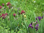 Colorful Irises In The Garden, Perennial Garden. Gardening. Bearded Iris Group Of Purple Irises In T poster
