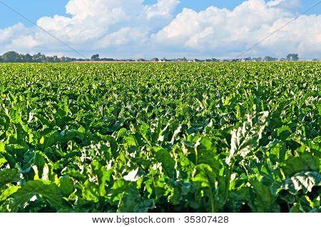 Sugarbeet Field Central Colorado