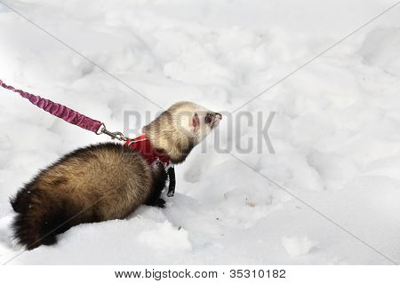 manual polecat walks