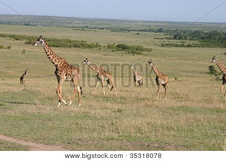 Giraffes in the Massai Mara